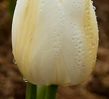 Single White Tulip by ScottH