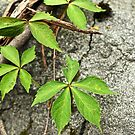 Virginia Creeper Vine - Parthenocissus quinquefolia by MotherNature