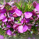 Polygala Grandiflora - Australian Native Tree by EdsMum