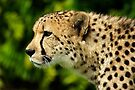 Cheetah by Stephen Beattie