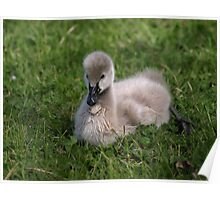 A new Season Black Swan Cygnet. Poster