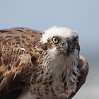 Osprey  by Matt  Harvey