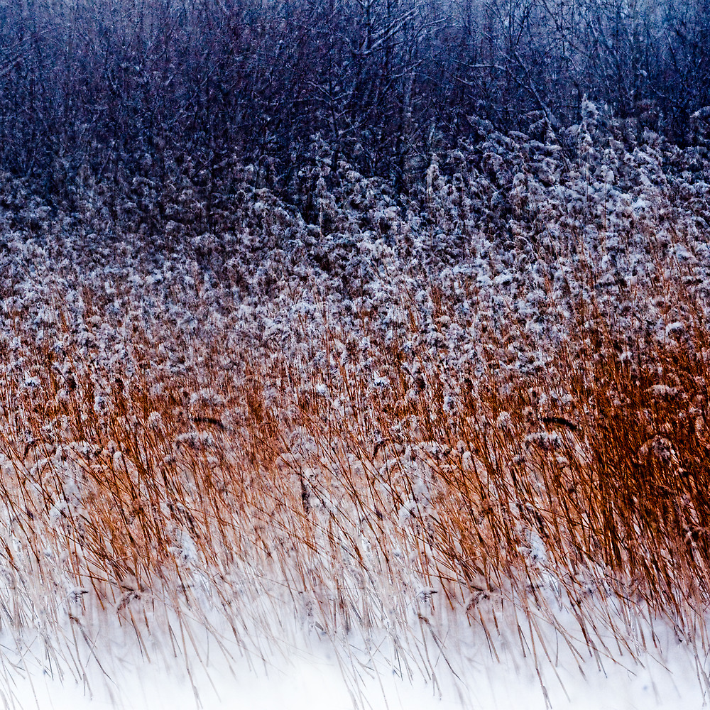 Winter Reed Bed by natans