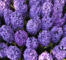 Purple hyacinths by bkkphotography