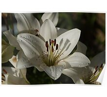 Asiatic Lily - White Poster
