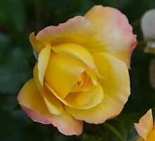 Yellow Rose 1 by John Honeyman