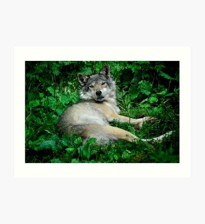 Canis Lupus - Grey Wolf Art Print