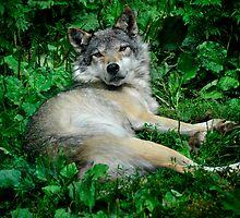 Canis Lupus - Grey Wolf by Brendan Buckley