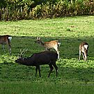 Young Stag with his harem - Arne Dorset UK by viennablue