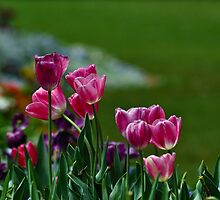 tulips ii by gary roberts