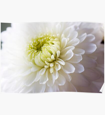 Soft White Petals Poster