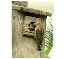 House Sparrow (Passer domesticus) 2 Poster