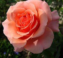 Apricot/Peach Heaven Rose by MarianBendeth