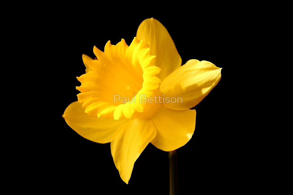 Daffy by Paul Bettison