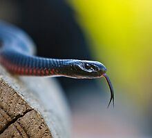 Red Bellied Black Snake 01 by Yanni