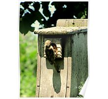 House Sparrow (Passer domesticus) 4 Poster