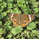 Buckeye Butterfly by sunsetgirl