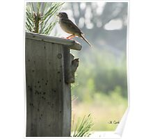 House Sparrow (Passer domesticus) 10 Poster