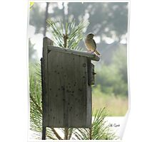 House Sparrow (Passer domesticus) 11 Poster
