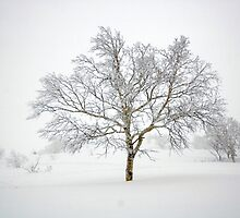 Japanese Birch tree, Furanodake, Hokkaido, Japan by Mike Banks