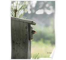 House Sparrow (Passer domesticus) 9 Poster