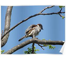House Sparrow (Passer domesticus) 16 Poster
