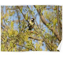 House Sparrow (Passer domesticus) 19 Poster