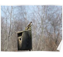 House Sparrow (Passer domesticus) 20 Poster