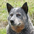 Australian Cattle Dog  by Margaret Stockdale