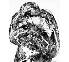 Shih Tzu Dog Art In Black And White by Sharon Cummings Photographic Print