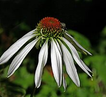 Coneflower White Swan by Vickie Emms