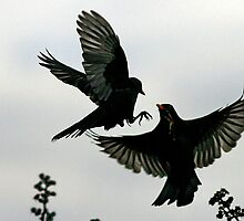 Squabbling Blackbirds by snapdecisions