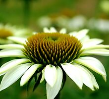 Echinacea by TriciaDanby