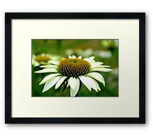 Echinacea Framed Print