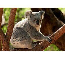 Koala Bear Photographic Print