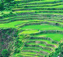 rice field by mtkang
