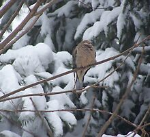 Sleeping Mourning Dove in Winter by NatureWaltzArts