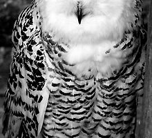 Snowy Owl - Largs Scotland by simpsonvisuals