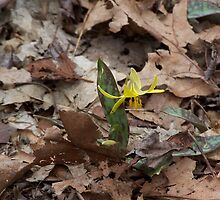 Trout Lily in Bloom by NatureWaltzArts