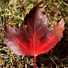Perfect Maple by Ruth Lambert