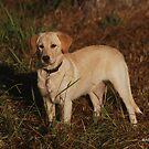 Labrador Retriever by ArkansasLisa