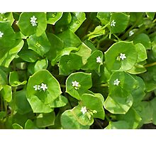 Claytonia in bloom Photographic Print