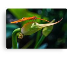 Julia Heliconian butterfly, (Dryas Iulia) Canvas Print