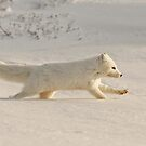 Arctic Fox on the Run! by Michael S Nolan