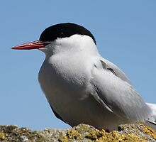 Arctic Tern Watches For Disturbances by Claire Colchester