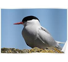Arctic Tern Watches For Disturbances Poster