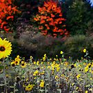 Sunflower Meadow by riotphoto