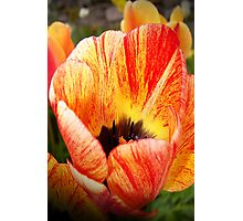Two Toned Tulips. Photographic Print