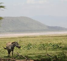 Zebra At A Flamingo-Lined Lake Nakuru by Claire Colchester