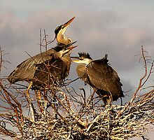 Great Blue Heron Nest by Gail Falcon